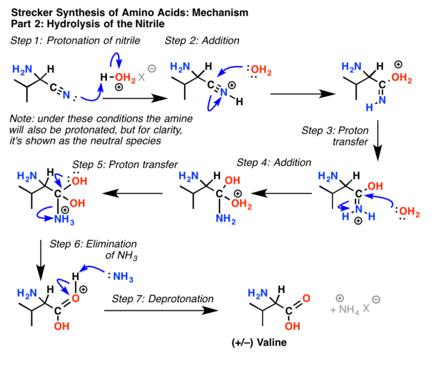 mechanism for the strecker synthesis of amino acids, part 2, hydrolysis of the nitrile with aqueous acid ultimately gives the alpha amino acid valine in this case.