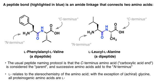 what is a peptide bond? a peptide bond is an amide linkage that connects two amino acids, such as phenylalanine and valine. the c terminus end (carboxylic acid end) is considered the parent and successive amino acids add to the N terminus. L or D relates to the stereochemistry of the amino acid. with the exception of achiral glycine, all proteinogenic amino acids are L